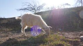 Dieren in de dierentuin, geiten royalty-vrije stock foto