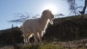 Dieren in de dierentuin, geiten royalty-vrije stock afbeelding