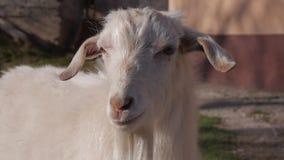 Dieren in de dierentuin, geiten stock fotografie