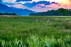 Dieren die op grasherten en damhinde op gebiedsweide bij zonsonderganglandschap naderbij komen Stock Fotografie