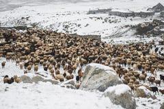 Dieren die van het weiden op gebied van hoge Karakoram-Bergen terugkeren Royalty-vrije Stock Afbeeldingen