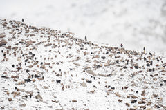 Dieren die van het weiden op gebied van hoge Karakoram-Bergen terugkeren Royalty-vrije Stock Afbeelding