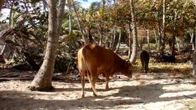 Dieren in een kokosnotenbosje door het overzees stock video
