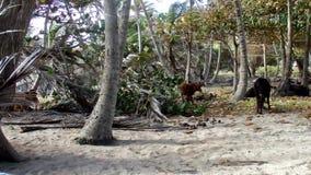 Dieren in een kokosnotenbosje door het overzees stock videobeelden