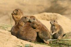 Dieren: Familie van Prairiehonden Stock Fotografie