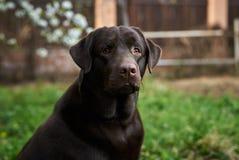 Dieren, huisdieren, hond, de gangen van Labrador in de binnenplaats Stock Foto