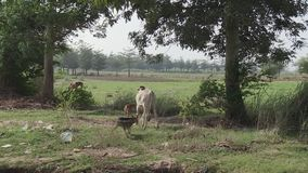 Dieren in Kambodja stock footage