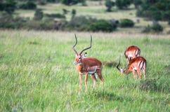 Dieren in Maasai Mara, Kenia Royalty-vrije Stock Afbeeldingen