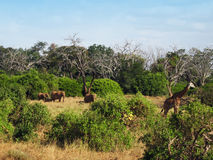 Dieren op de savanne Stock Foto's