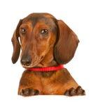 Dierenarts: Dacshund die over Witte Kaart kijken Stock Fotografie
