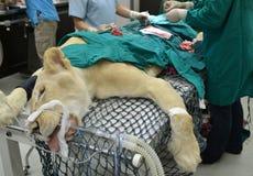 Dierenarts die een handeling op een leeuw uitvoeren stock fotografie