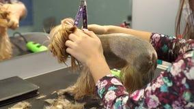 Dierenarts die een terriër van Yorkshire met haarclipper in orde maken in een dierenartskliniek stock videobeelden