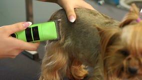 Dierenarts die een terriër van Yorkshire met haarclipper in orde maken in een dierenartskliniek stock video