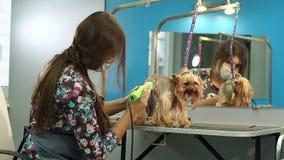 Dierenarts die een terriër van Yorkshire met haarclipper in orde maken in een kliniek stock videobeelden