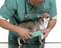 Dierenarts die een verband verpakt rond de poot van een Chihuahua Royalty-vrije Stock Foto