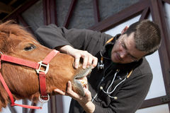 Dierenarts die paard onderzoekt Stock Afbeeldingen