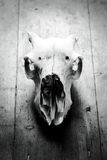 Dierenschedel Royalty-vrije Stock Foto