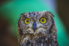 Dierentuin, mooie uil met intense ogen en mooi gevederte Stock Fotografie