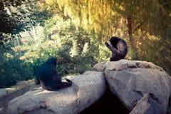 Dierentuin San Diego - chimpansees Stock Foto