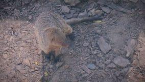 Dierentuin van de Meerkat de hoogste mening stock footage