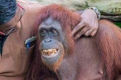 Dierentuinhuisbewaarder het spelen met het glimlachen van mannelijke orangoetan Royalty-vrije Stock Foto