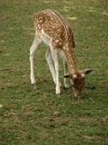 Dierentuinpark Poppi Italy: fawn Stock Afbeelding