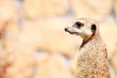 Dierlijk Alarm die meerkat (Suricata-suricatta) zich op wacht bevinden Royalty-vrije Stock Fotografie