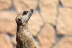 Dierlijk Alarm die meerkat (Suricata-suricatta) zich op wacht bevinden Stock Fotografie