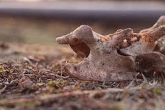 Dierlijk die skelet op droog gebied wordt blootgesteld stock foto's