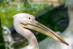 Dierlijk hoofd van een mooie pelikaanvogel Royalty-vrije Stock Fotografie