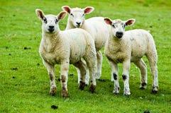 Dierlijk Landbouwbedrijf - Drie Lammeren Stock Afbeeldingen
