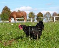 Dierlijk landbouwbedrijf - paard en zwarte kip Stock Foto