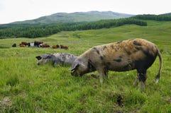 Dierlijk landbouwbedrijf in Schotland stock foto