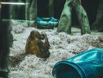Dierlijke aap die vruchten eten die dierentuin zitten Stock Afbeelding
