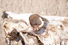 Dierlijke beenderen op het gebied Stock Afbeelding