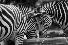 Dierlijke BW-Reeks - een paar van zebras het voeden Royalty-vrije Stock Foto's