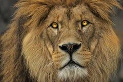 Dierlijke de jagersleeuw van het gezichtsdetail stock afbeelding
