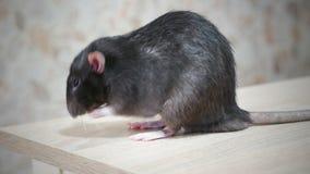 Dierlijke grijze rat stock video