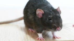 Dierlijke grijze rat stock footage