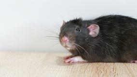 Dierlijke grijze rat stock videobeelden