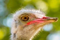 Dierlijke grote vogel van een struisvogel Stock Foto