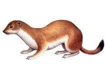 Dierlijke Hermelijn stock illustratie