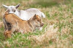 Dierlijke Jonge geitjes Royalty-vrije Stock Afbeeldingen