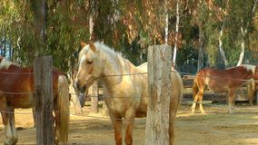 Dierlijke Paarden in Schuur stock footage
