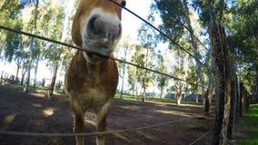 Dierlijke Paarden in Schuur stock video