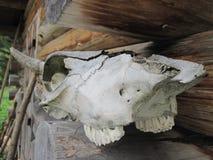 Dierlijke schedel die aan de kant van een blokhuis liggen Royalty-vrije Stock Fotografie