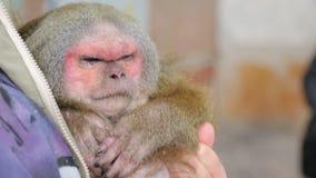 Dierlijke schuilplaats, blinde aap in de wapens van een gids stock video