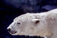 Dierlijke snuit van een groot ijsbeerroofdier Royalty-vrije Stock Foto's