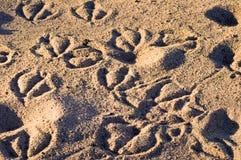 Dierlijke Sporen in het Zand Stock Fotografie