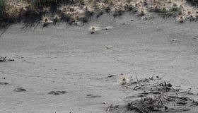 Dierlijke Sporen in het Zand Royalty-vrije Stock Foto's